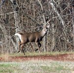 Deer are more active during the fall and have lost the velvet from their anlters and prepare for the breeding season.