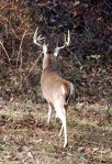 If you look long and hard enough, you might get to see a large buck like this 10 point.
